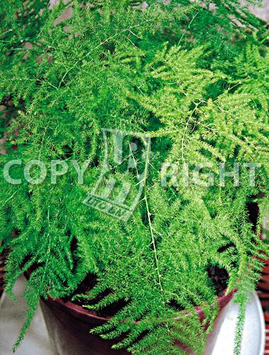 asparago plumoso