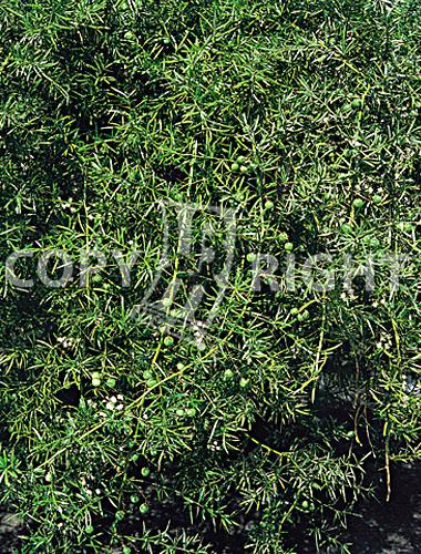 asparago sprengerii