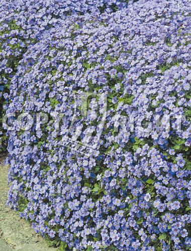 aubrezia cascata azzurra