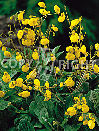calceolaria gialla
