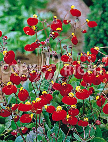 calceolaria rossa
