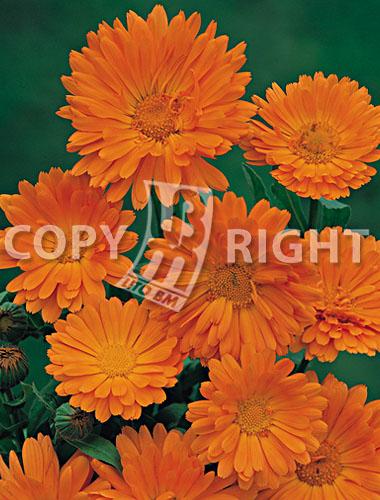 calendula semplice arancio