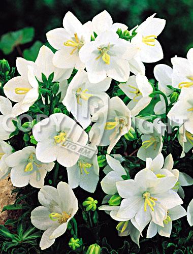 campanula carpatica bianca