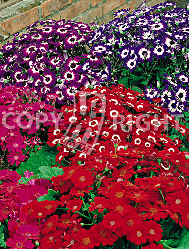 cineraria grandiflora mix