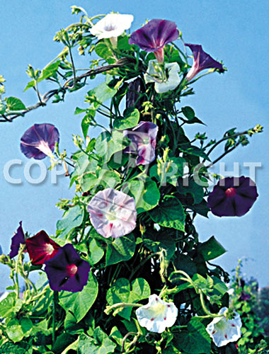 ipomea grandiflora mix