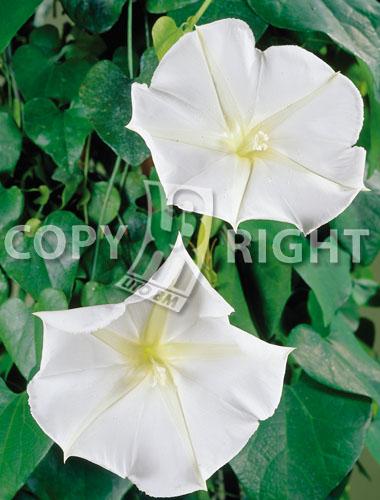 ipomea grandiflora bianca