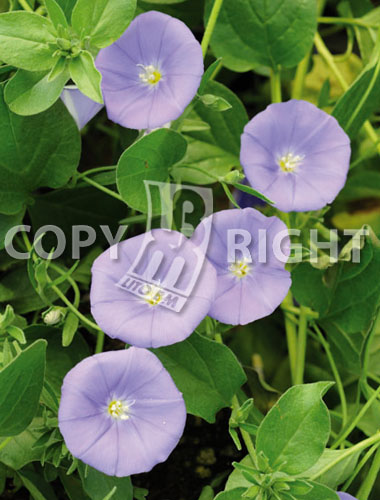 ipomea grandiflora blu