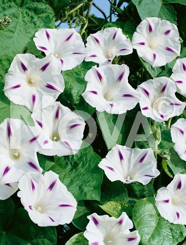 Ipomea grandiflora bicolor