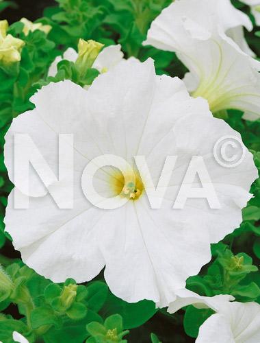 Petunia nana compatta bianca