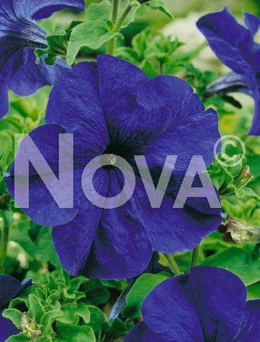 Petunia nana compatta blu
