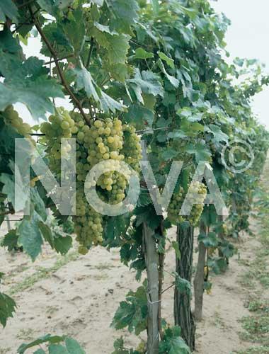 da vino bianca