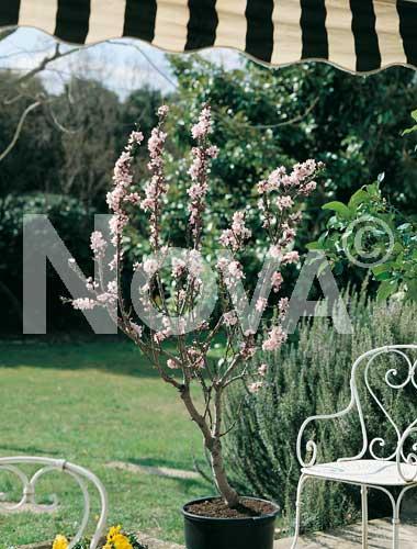 Piante da frutto piante da frutto nane dwarf almond for Piante da frutto nane in vaso