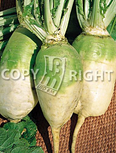 bietola da foraggio semizuccherina