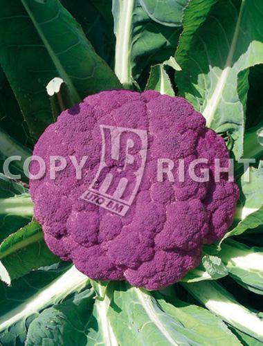 cavolfiore violetto di sicilia