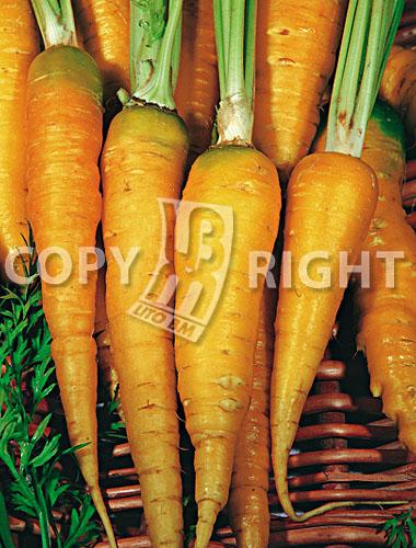 carota gialla da foraggio lobbericher