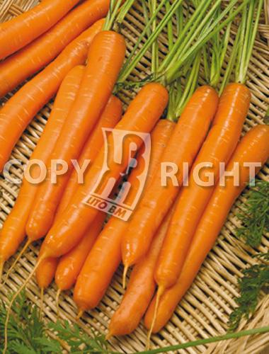 carota nantes