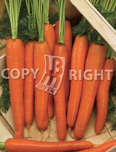 carota nantese di chioggia
