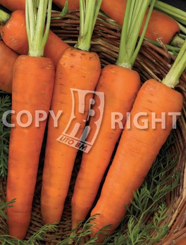 carota kuroda