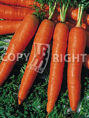 carota chantenay red cored