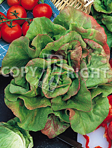 lattuga du bon jardinier