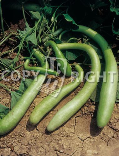 lagenaria siceraria longissima