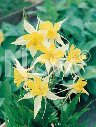 aquilegia a fiore semplice giallo