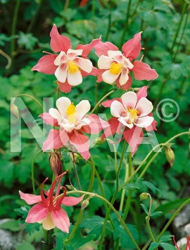 aquilegia a fiore semplice rosa