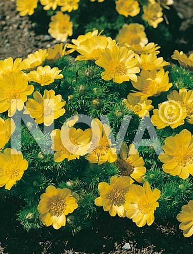 adonide gialla