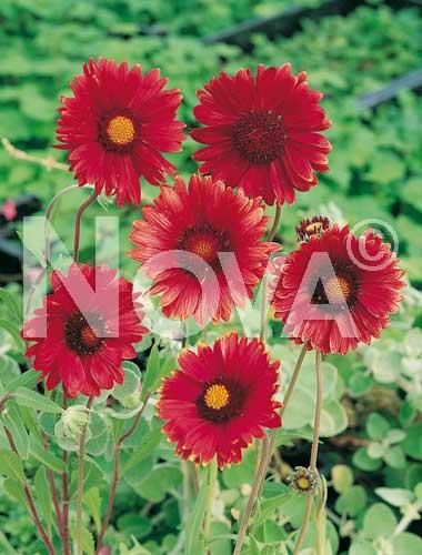 gaillardia a fiori rossi