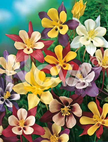 aquilegia a fiore semplice mix