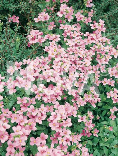 arabis rosa