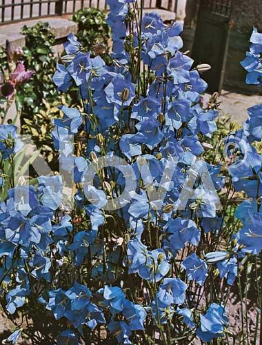 campanula carpatica blu