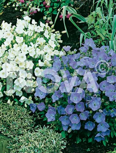 campanula carpatica mix