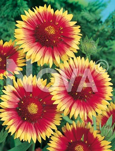 gaillardia bicolore a grandi fiori