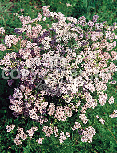 achillea officinale