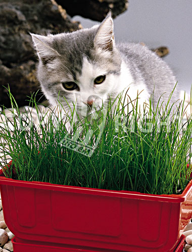 aromatiche erba per animali domestici erba per gatti