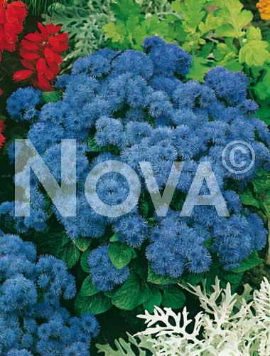 agerato nano blu