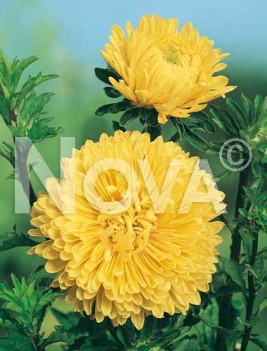 astro bouquet gialla