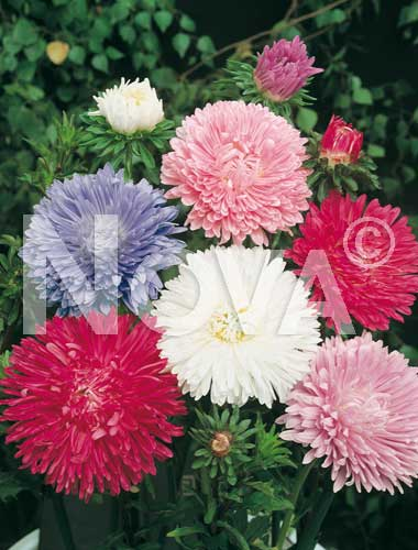astro bouquet mix