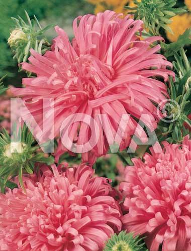 astro piuma di struzzo rosa