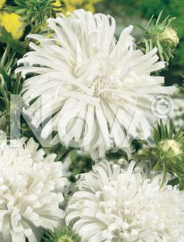 astro piuma di struzzo bianco