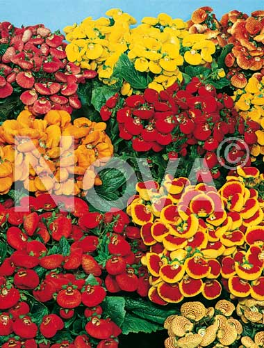 calceolaria mix