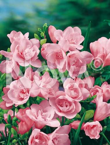 freesia doppia rosa