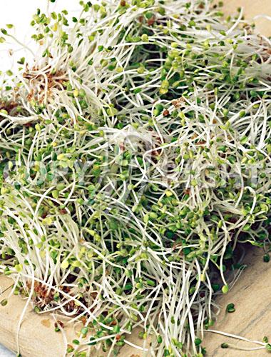 ravanello daikon_radish daikon_raphanus sativus