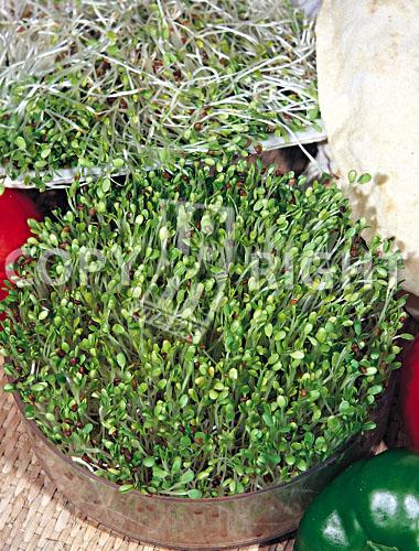 trifoglio violetto_red clover_trifolium pratense
