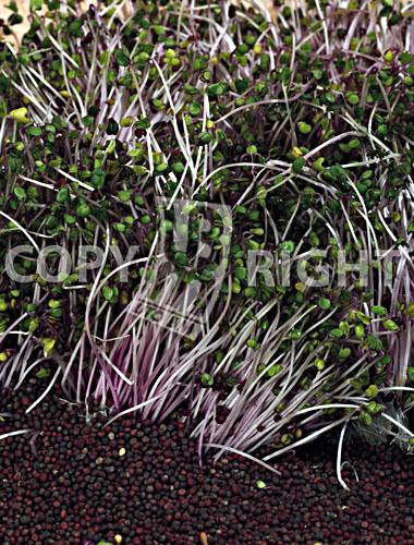 cavolo rosso_red cabbage_brassica oler. capitata rubra