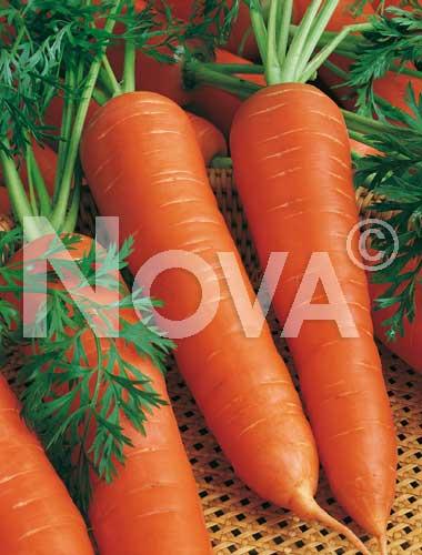 carota berlicum
