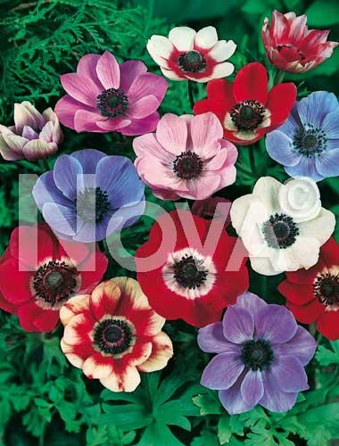 anemone semplice miscuglio