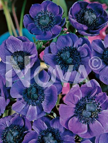 anemone semplice blu