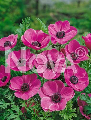 anemone semplice rosa